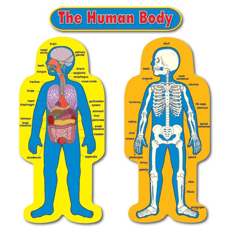 Bb Set Child-Size Human Body 2 Figures 50t