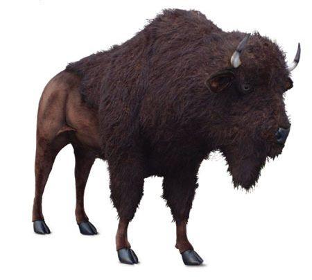 "Buffalo, Life Size 96''l X 72""h (sp)"